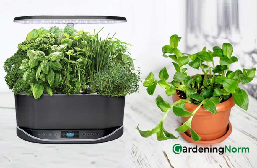 How To Transplant AeroGarden Plants and Herbs